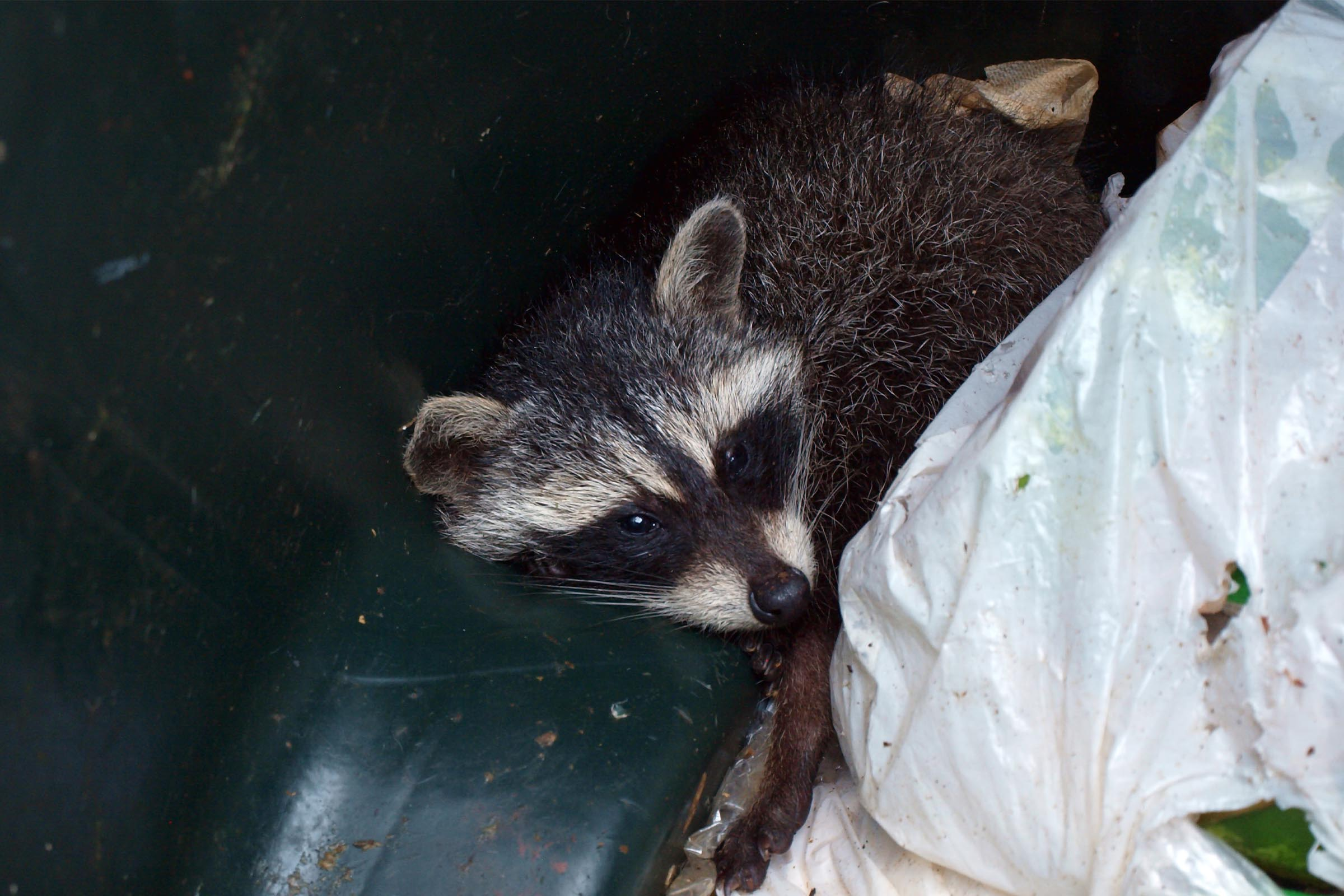raccoon in trashcan trouble getting him out