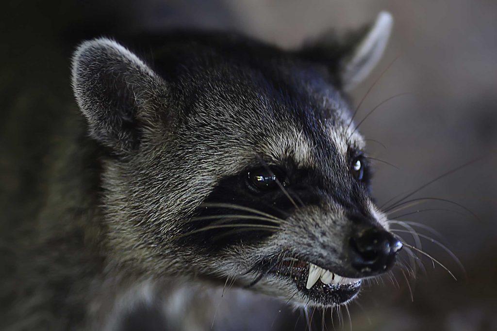 raccoon showing teeth