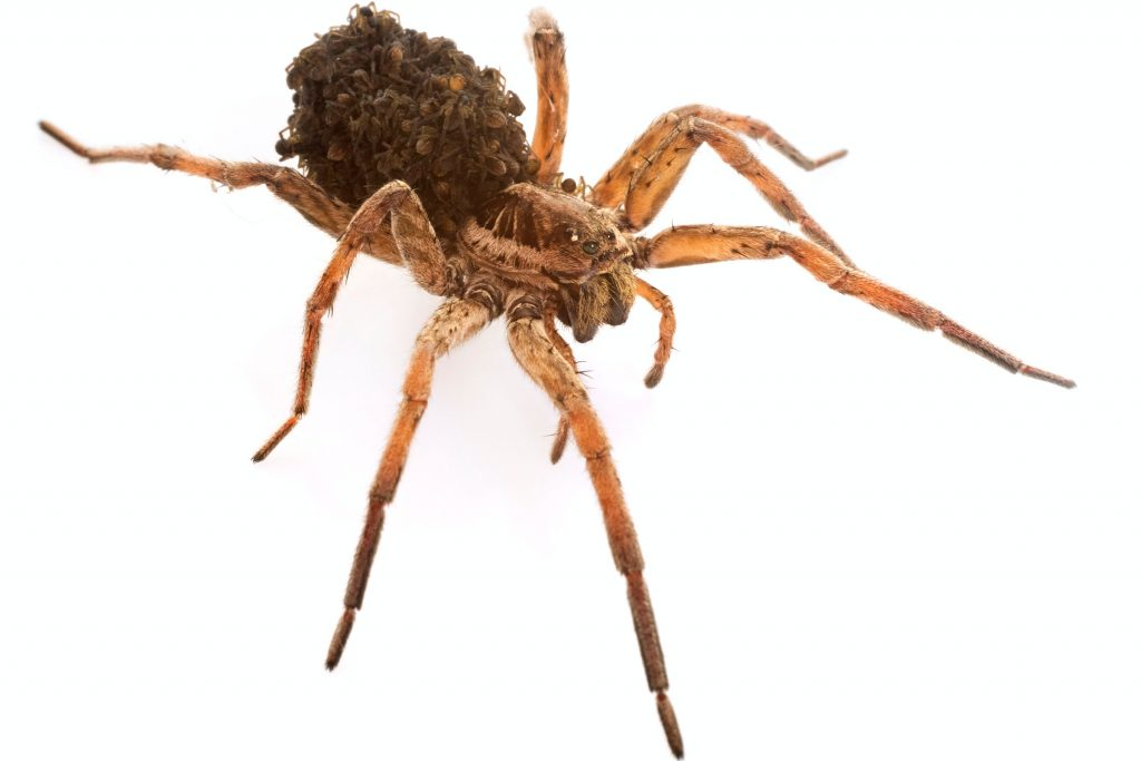 wolf spider with spiderlings on her back