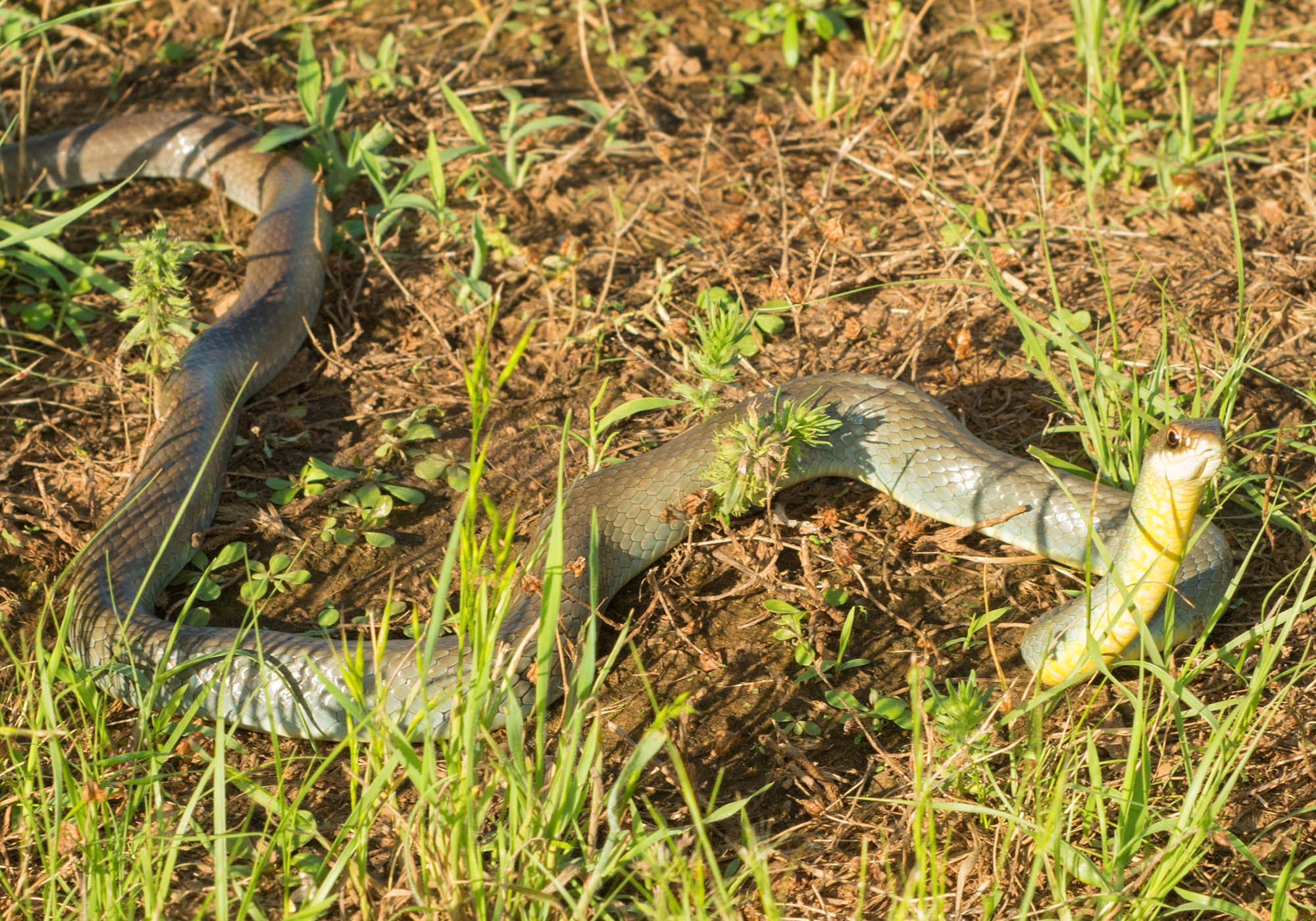 yellow bellied racer